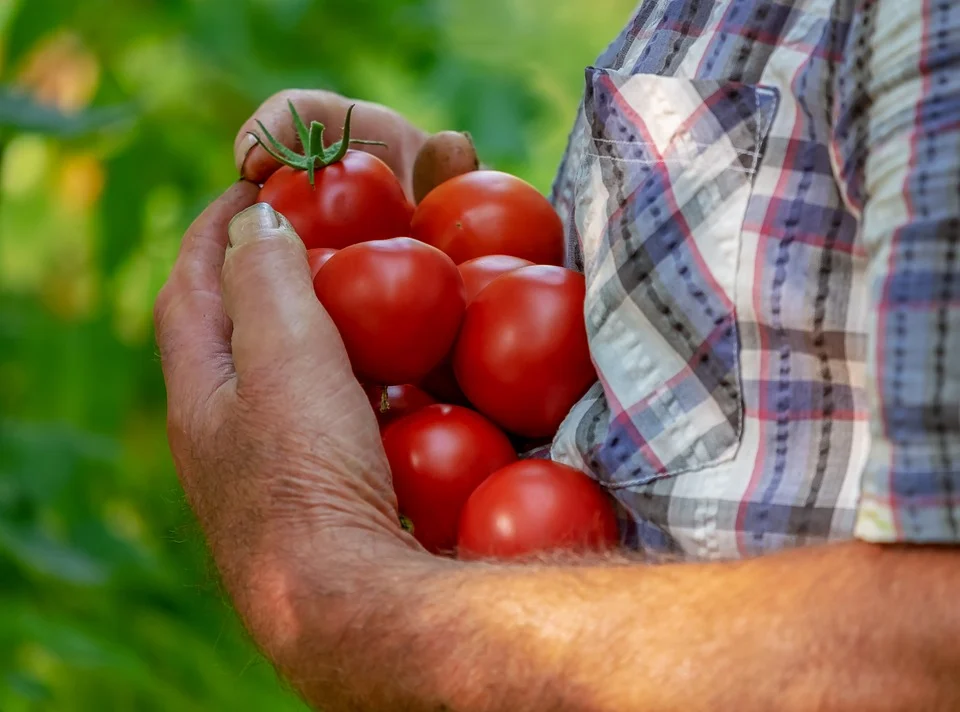 image of someone holding an armful of tomatoes